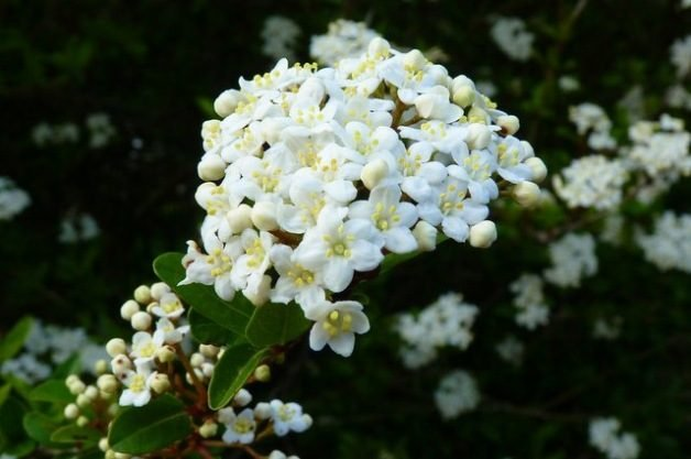 Signs of Spring Viburnum
