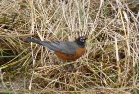 Signs of Spring: Singing Robins