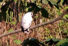 A Wonderful Hawk in Guatemala