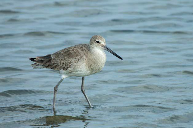 Bird Species Profile: Willet