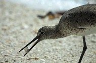 Bird Species Profile: Willet
