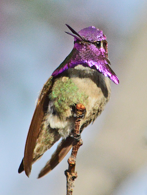 Costa S Hummingbird S Collar Birds And Blooms