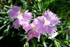 Try Bath's Pink Dianthus for Fragrant Flowers