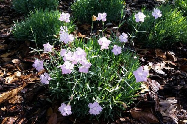 Fragrant Flowers Firewitch Dianthus