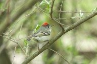 Bird Species Profile: Ruby-crowned Kinglet