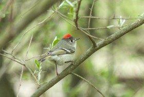 Bird Species Profile: Ruby-crowned Kinglet