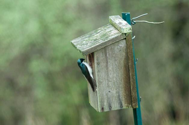 Is that a Swallow in My Bluebird Box?
