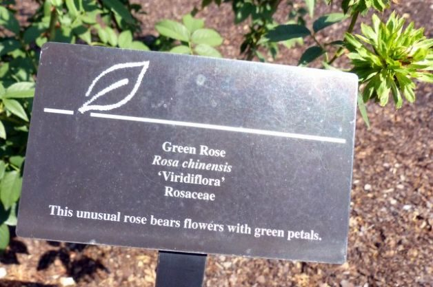 Add a Green Rose to Your Garden