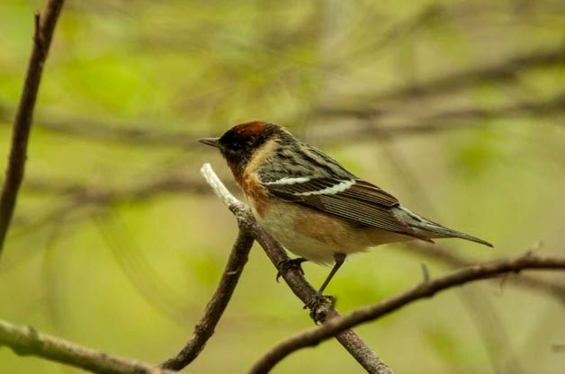 Warblers at Magee Marsh