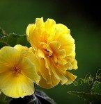 Big-Yellow-Begonias