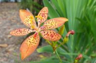 Blackberry Lily Iris domestica