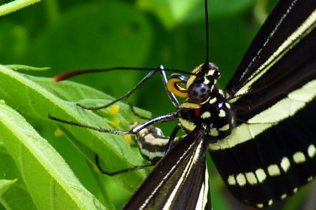 Butterflies Eat Zebra Longwing Pollen