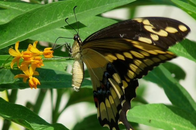 How Butterflies Eat Giant ST