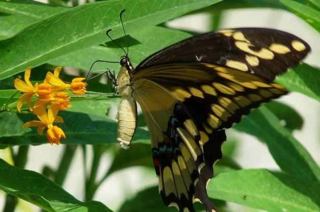 How Butterflies Eat Giant ST