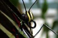 How Butterflies Eat Zebra Longwing