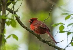 Enjoying Common Birds Like Cardinals