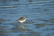 Shorebirds are Still Migrating
