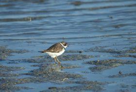 Shorebirds are Still Migrating