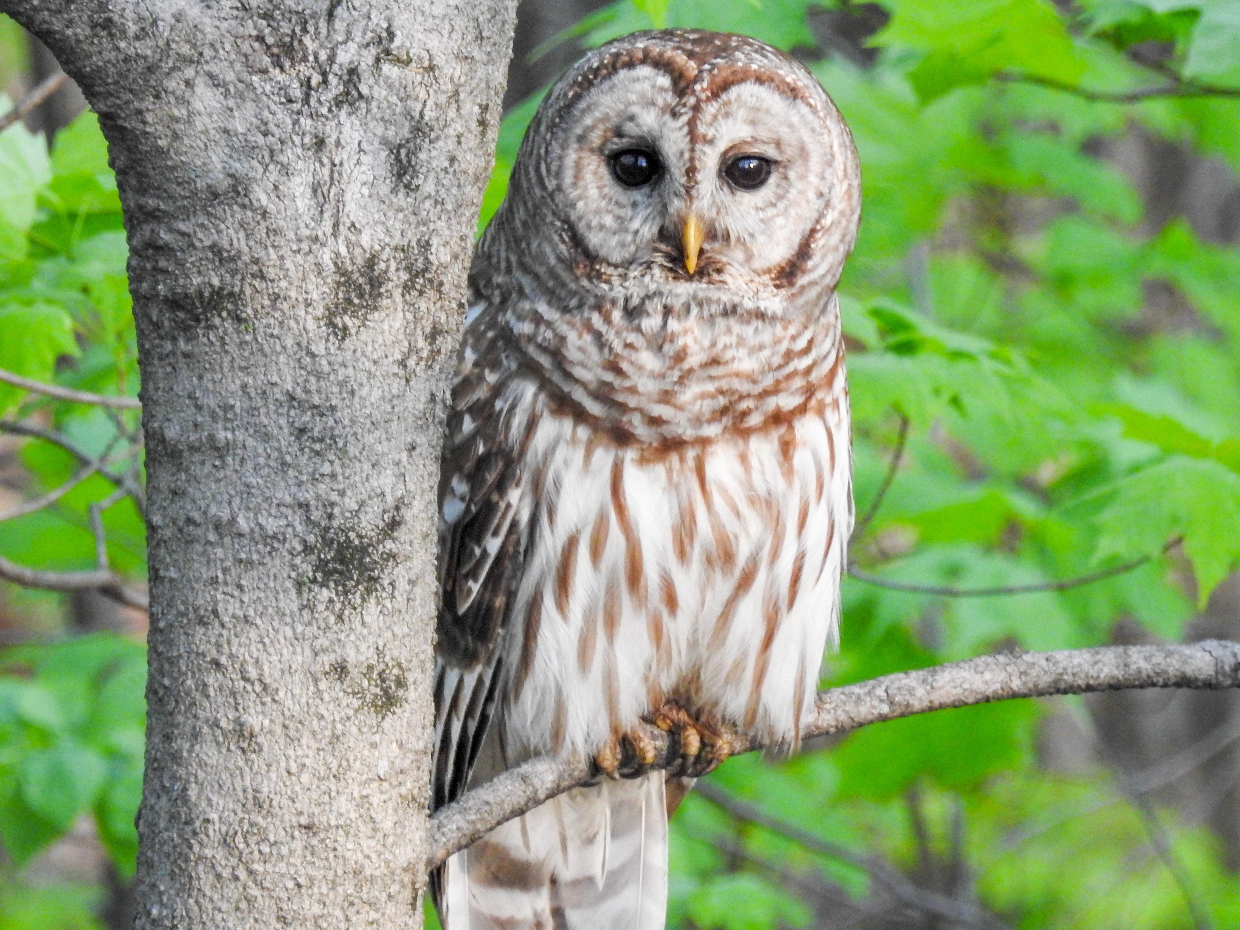 Barred Owl Central Ohio May 2016 Birds And Blooms