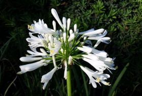 Agapanthus for Gardens and Containers