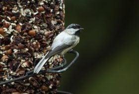 Back to Bird Feeding