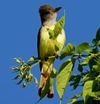 Great-Crested-Flycatcher7158