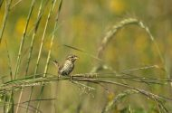 Summer Sparrows of the Grasslands