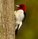 Red-headed-Woodpecker4687