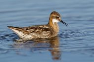 Happy Father's Day to all of the great fathers out there like this male Red-necked Phalarope.