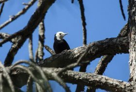 Bird Species Profile: White-headed Woodpecker