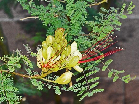 Yellow Mexican Bird Of Paradise Birds And Blooms