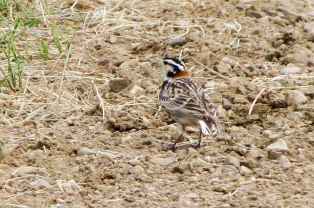 Birding Hotspots: Pawnee National Grasslands