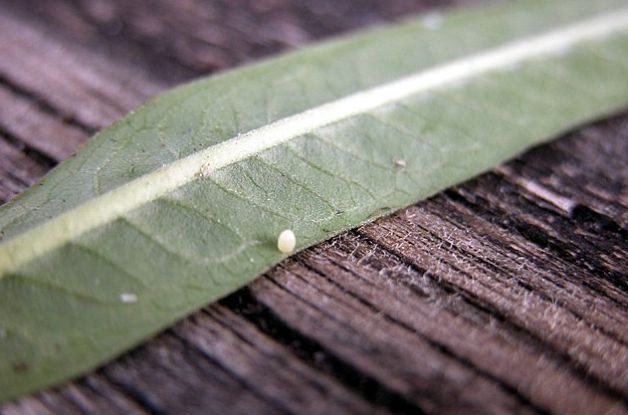 Monarch Egg or Aphid