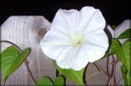 Moonflower Jen Giordano