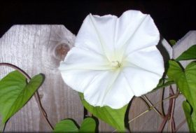 Moonflower for Attracting Moths and More