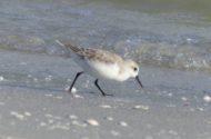 Sanderlings Fort Myers FL