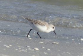 "Sanderlings: The Stars of Pixar's ""Piper"""