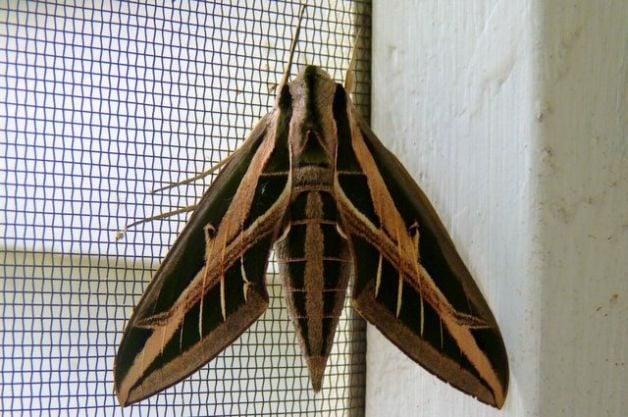 Sphinx Moths Banded Sphinx