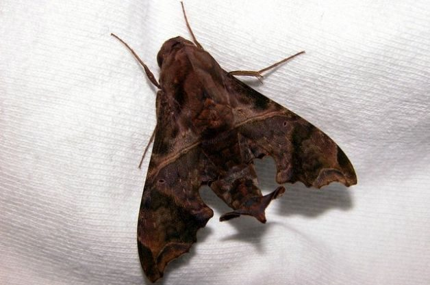 Sphinx Moths Mournful Sphinx
