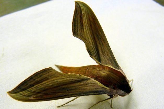 Sphinx Moths Tersa Sphinx