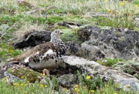 Bird Species Profile: White-tailed Ptarmigan