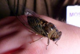 Annual and Periodic Cicadas