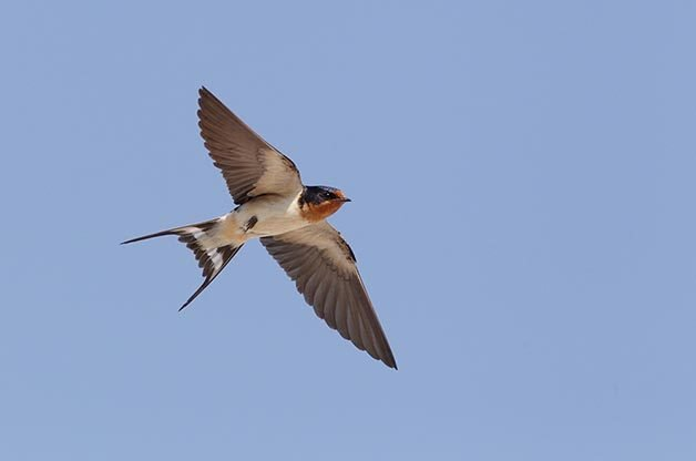 Identifing Swallows in the Eastern US