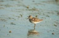 Bird Species Profile: Least Sandpiper