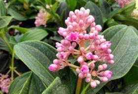 Malaysian Orchid (Medinilla myriantha)