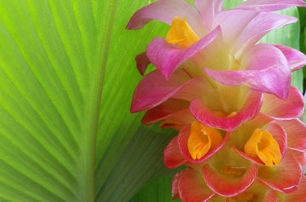 Tome de la dama del jengibre: Los tropicals fáciles de crecer prosperan en calor, humedad - Houston Chronicle
