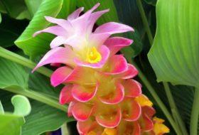 Queen Lily Ginger (Curcuma petiolata)
