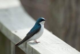 My First Tree Swallows of Spring