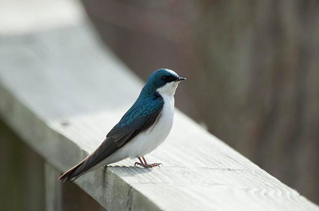 My First Swallow 39