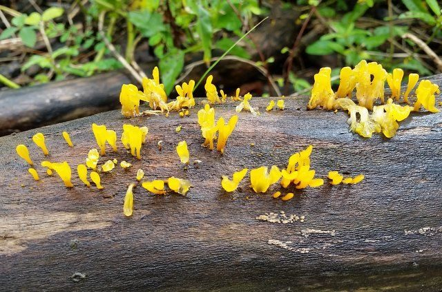 Witches' Butter Fungus
